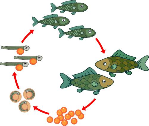 Observe o ciclo de vida de peixes ósseos.