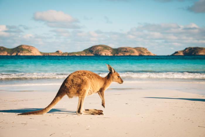 Um dos símbolos da fauna do maior país da Oceania, a Austrália, é o canguru.
