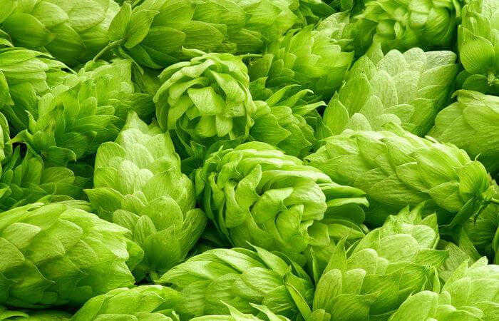 A flor feminina do lúpulo produz substâncias que garantem o amargor e o aroma da cerveja.