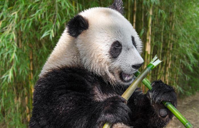 Os pandas alimentam-se principalmente de bambu.