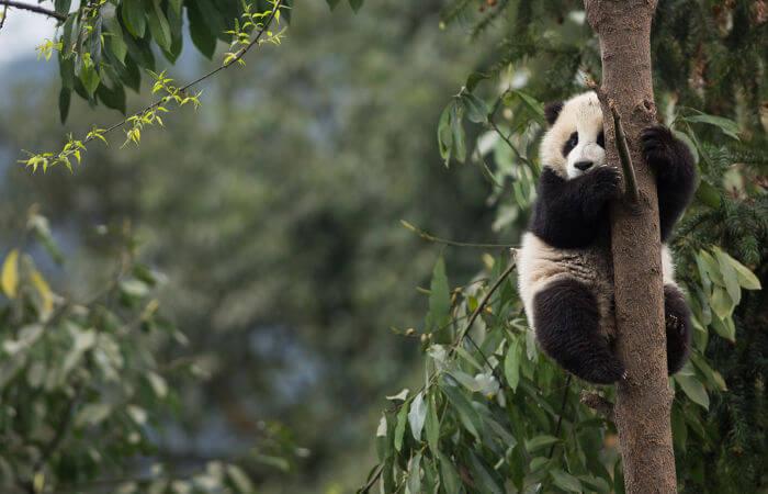 Os pandas gigantes são mamíferos que vivem nas florestas da China.