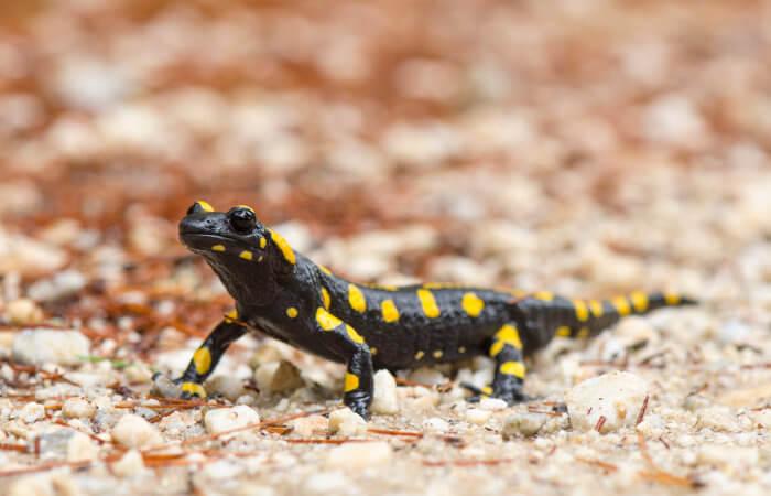A salamandra-de-fogo apresenta um corpo negro com várias manchas amareladas.