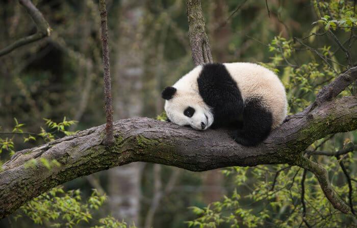 Os ursos pandas são animais solitários.
