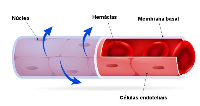 Na figura, é possível observar a estrutura de um capilar.