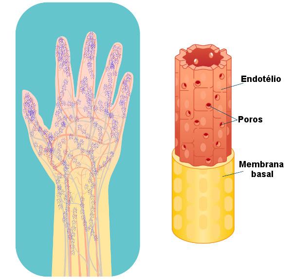 Observe os poros presentes na parede dos capilares fenestrados.