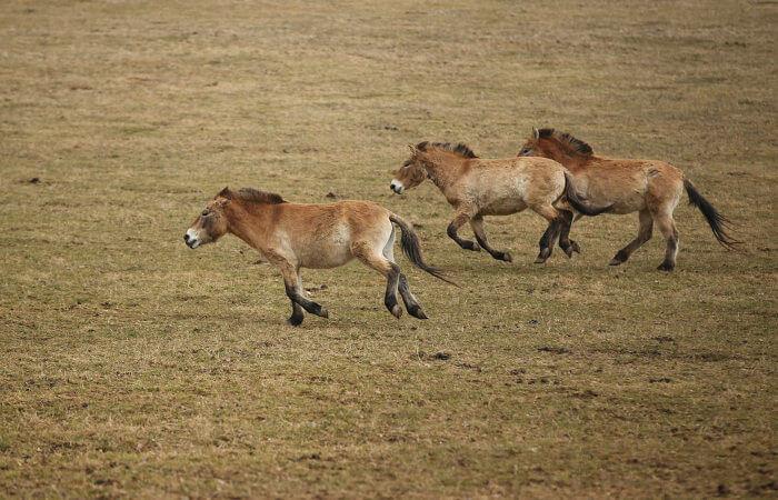 O cavalo-de-przewalski é um cavalo selvagem que apresenta algumas diferenças quando comparado às raças domésticas.