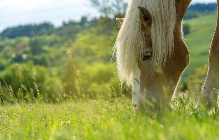 Os cavalos podem ficar longos períodos de tempo pastando.
