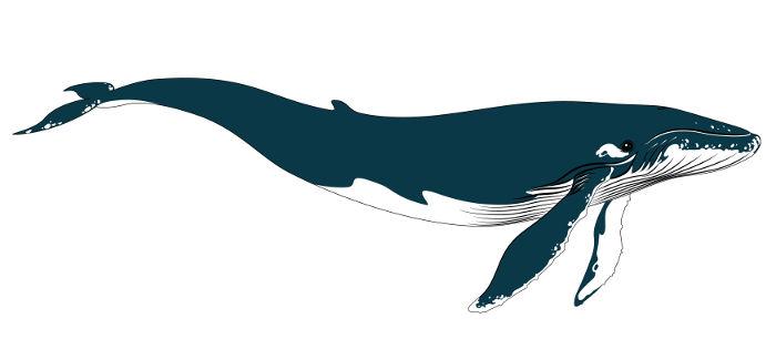 A baleia-azul apresenta corpo longo, hidrodinâmico e de coloração azul-cinzento.