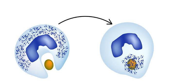 Observe o esquema de um leucócito realizando fagocitose.