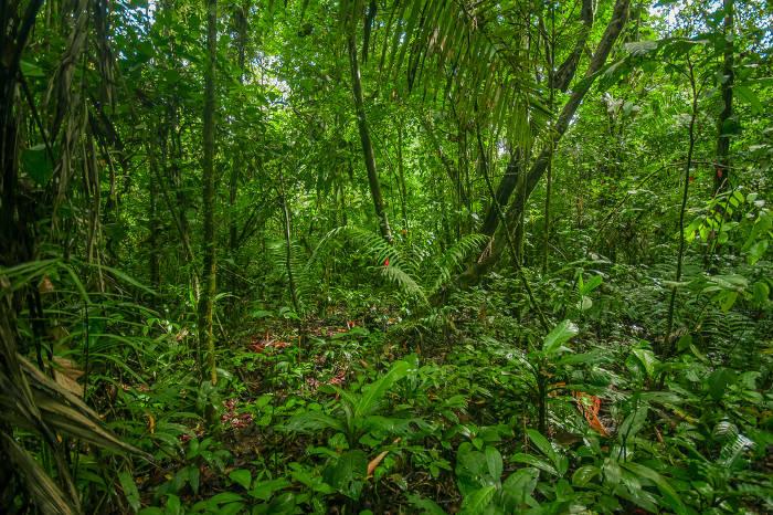 A Floresta Amazônica apresenta vegetação densa com árvores altas, cujas copas fecham-se.