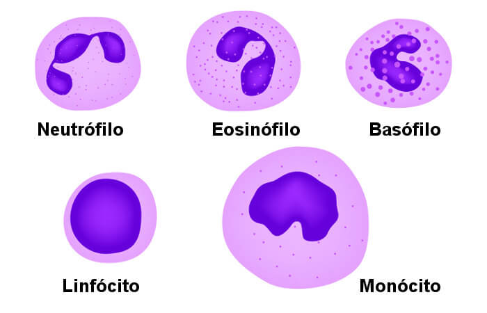 Observe os diferentes tipos de leucócitos existentes.