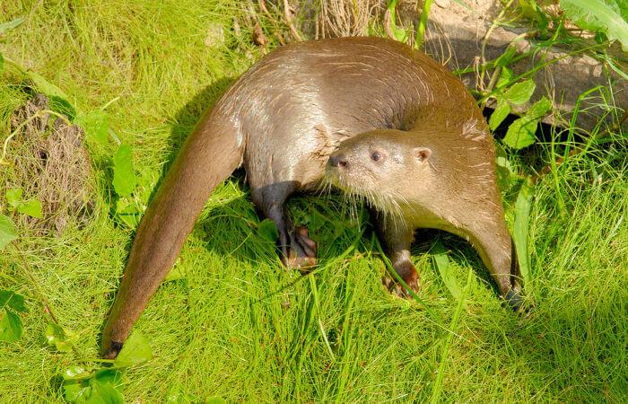 A lontra é um animal mamífero com ampla distribuição geográfica.
