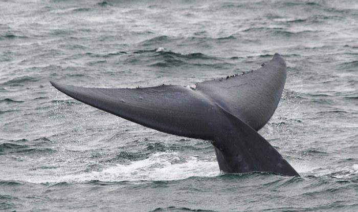 Observe a nadadeira caudal de uma baleia-azul.