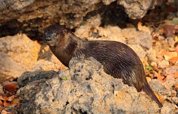 A lontra é um animal que apresenta pelagem marrom.