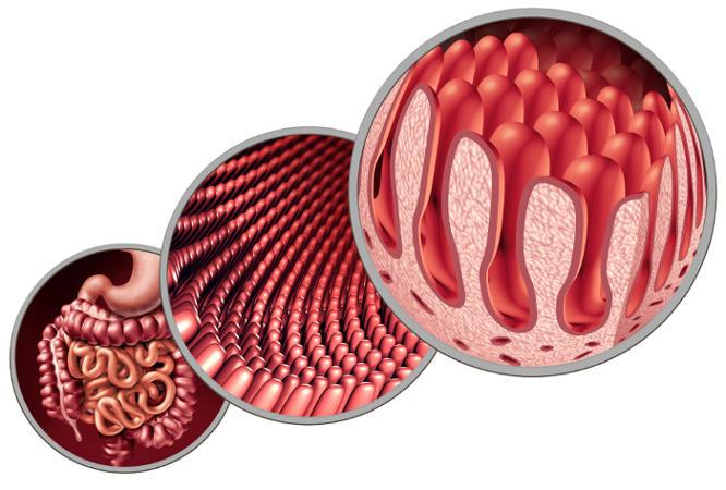 As vilosidades presentes no intestino garantem uma maior absorção.