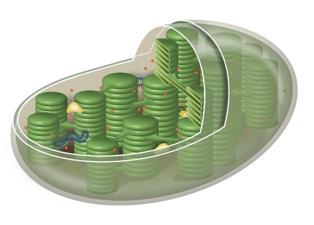A fotossíntese ocorre nos cloroplastos, organelas presentes em todas as partes da planta.