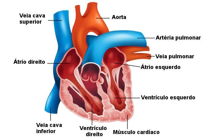 Observe as principais partes que formam o coração.