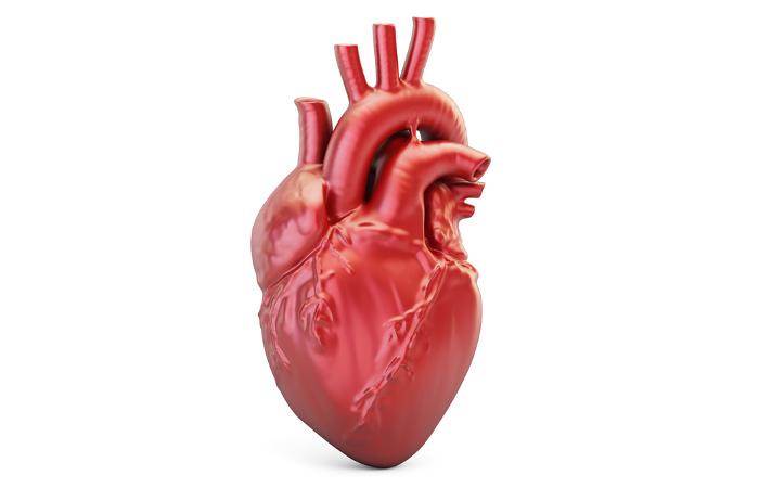 O coração é um órgão importante do nosso sistema cardiovascular.