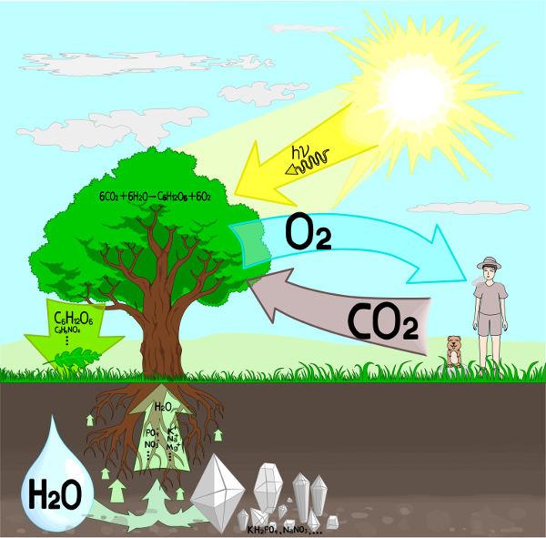 Por meio da fotossíntese, as plantas convertem a energia solar em energia química, utilizando-a para a produção de moléculas orgânicas.