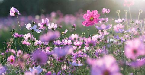 Flores rosadas em jardim ensolarado