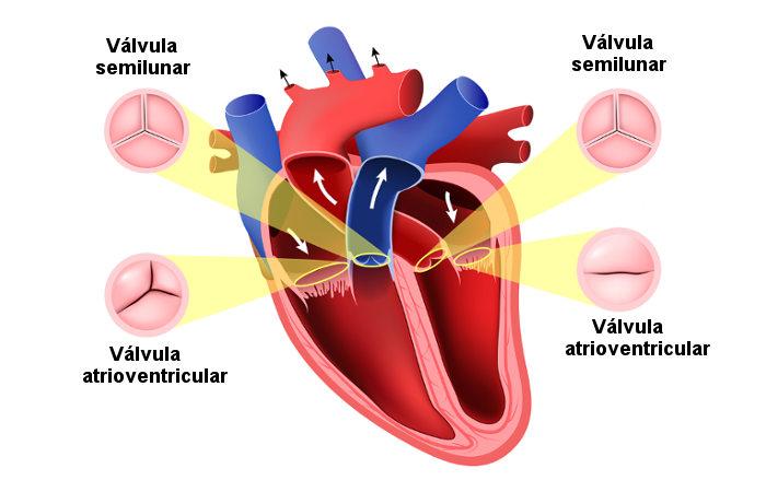 A presença de válvulas no coração impede o refluxo de sangue.