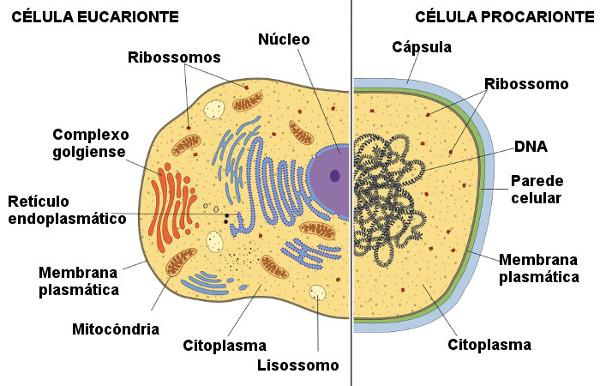Veja algumas diferenças observadas entre células procariontes e eucariontes.