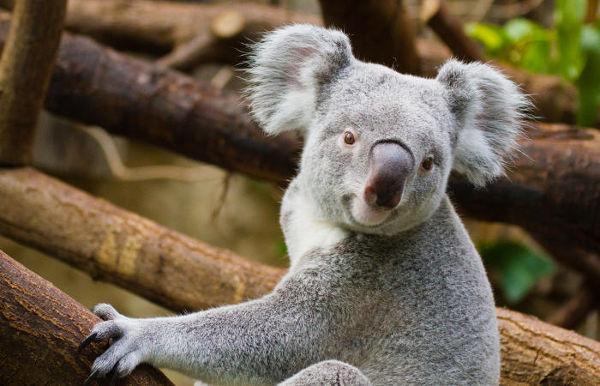 Os coalas são animais encontrados apenas na Austrália.