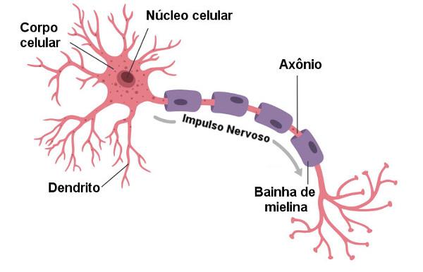 Observe as principais partes do neurônio.