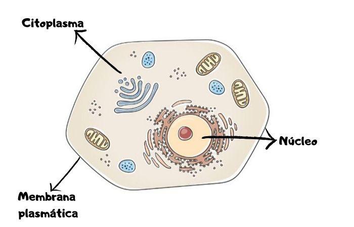 Uma célula eucarionte com suas principais partes: membrana plasmática, citoplasma e material genético contido no núcleo.