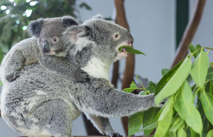 Os coalas podem consumir mais de dois quilos de folhas por dia.