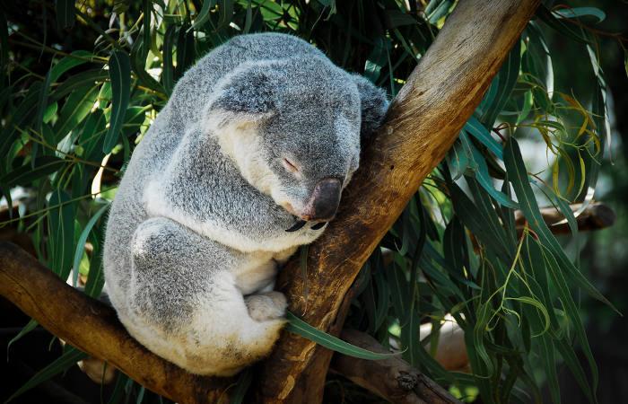 Os coalas são marsupiais que ficam grande parte do tempo em árvores.