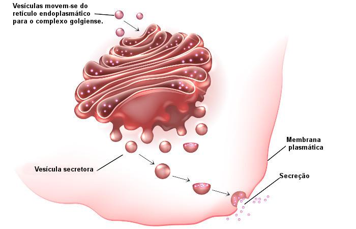 O processo no qual o complexo golgiense transporta e elimina substâncias é conhecido como secreção celular.