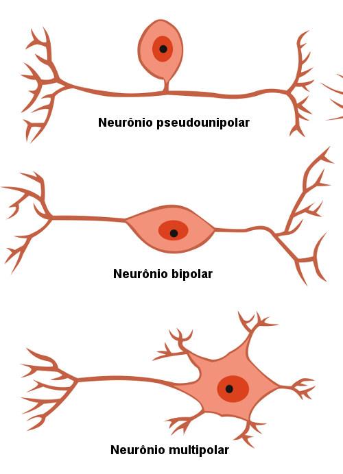 Observe os principais tipos de neurônios existentes.