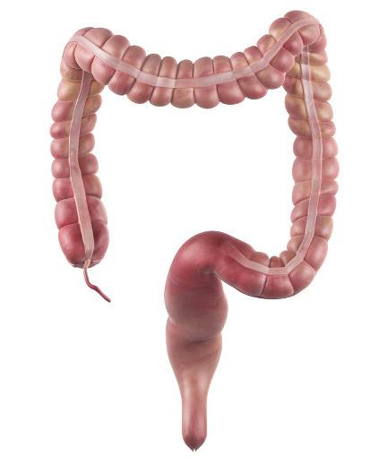 As fezes são formadas no intestino grosso.