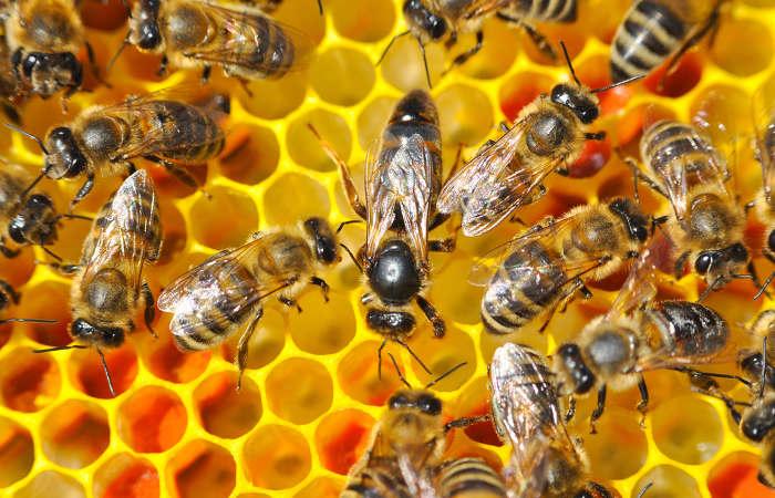 As abelhas são animais que vivem em sociedade.