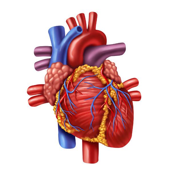 O coração é responsável por bombear o sangue.