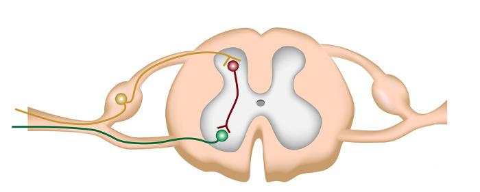 A medula espinal está no interior da coluna.