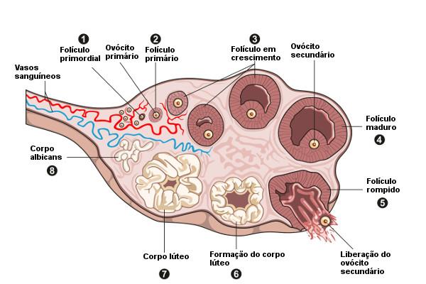 Observe no esquema algumas etapas do ciclo ovariano.