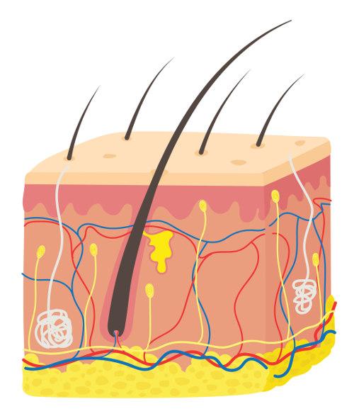 A pele é o maior órgão do corpo humano.