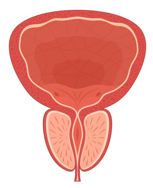A próstata produz a secreção que forma o sêmen.