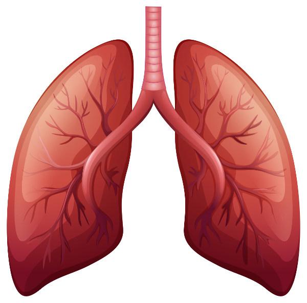 O pulmão apresenta consistência esponjosa.