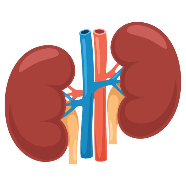 O rim é responsável pela formação da urina.