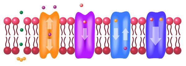 Algumas substâncias atravessam a membrana sem gasto de energia, outras necessitam de energia.