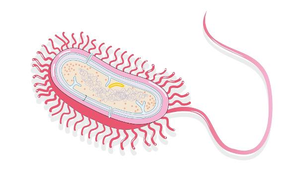 A célula procariótica é uma célula que não apresenta núcleo definido.
