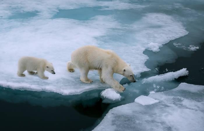 O derretimento das calotas polares tem afetado a vida de diversos animais, como os ursos-polares.