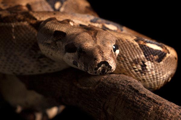 A jiboia é um exemplo de animal silvestre.