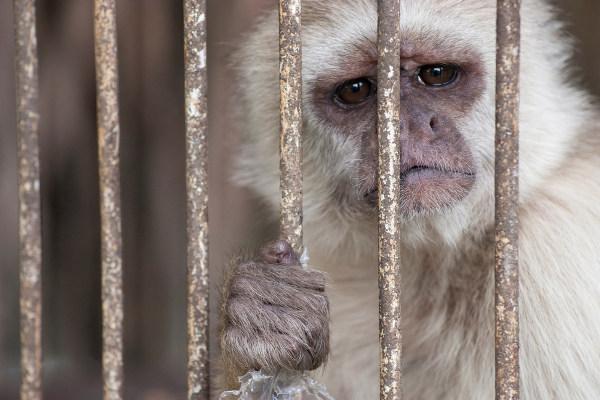 O tráfico de animais é uma atividade que gera a morte de vários espécimes.