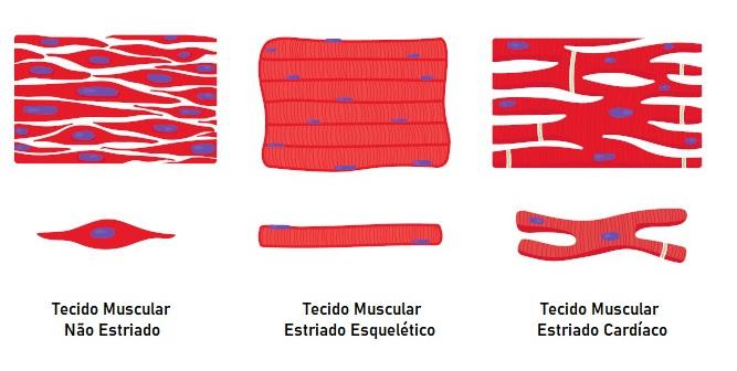 O tecido muscular é classificado em três tipos: tecido muscular estriado esquelético, tecido muscular não estriado e tecido muscular estriado cardíaco.