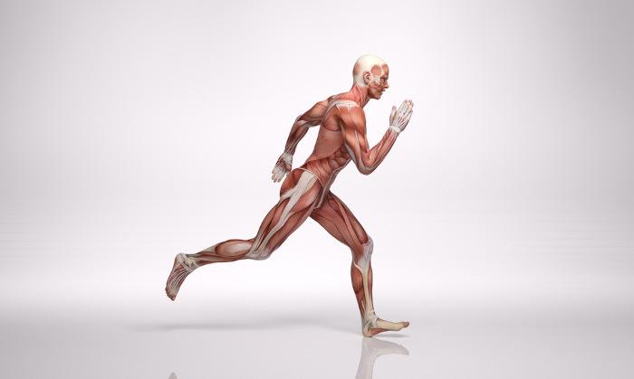 Nossa movimentação é conseguida graça à ação dos nossos músculos, que são formados pelo tecido muscular.