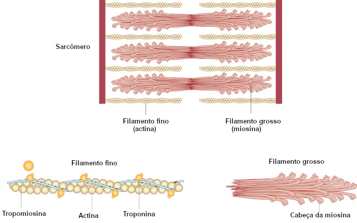 Observe um esquema do sarcômero, as unidades contráteis básicas do tecido muscular.